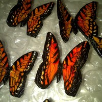 Tiger Stripe Monarchs Some of my newest Monarchs...For a very special cake