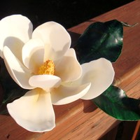 Southern Magnolia - Gumpaste I live in remote Alaska but I am from VA. It has been dark and dreary here so I wanted to make a flower to lift my spirits. I made this gum...
