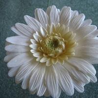 White Gerber Daisy This is my first attempt making Gerber Daisies. They are for a wedding cake I am doing in September