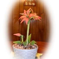 First Amaryllis 01 31 13 First Amaryllis 01/ 31 /13