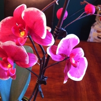 Moth Orchid Pink Moth Orchid