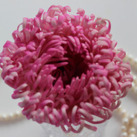 Hi All This Is My First Spider Chrysanthemum Very Time Consuming   Hi all, this is my first Spider Chrysanthemum, very time consuming :)