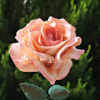 Romantic Rose   romantic rose