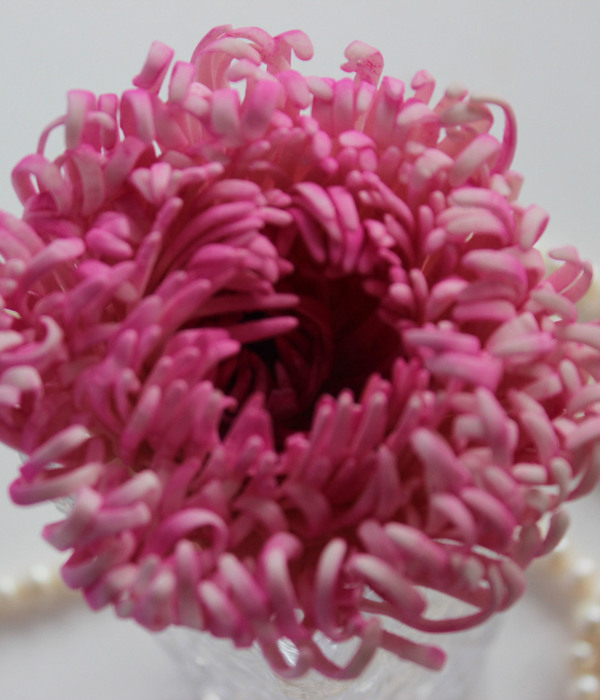 Hi All This Is My First Spider Chrysanthemum Very Time Consuming