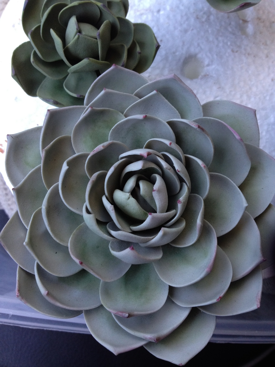 Sugar Paste Succulent on Cake Central