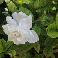 Wafer Paper Gardenia  I made all of the petals and leaves out of wafer paper, even the bud. In the picture you can see my flower in a real gardenia plant on my...
