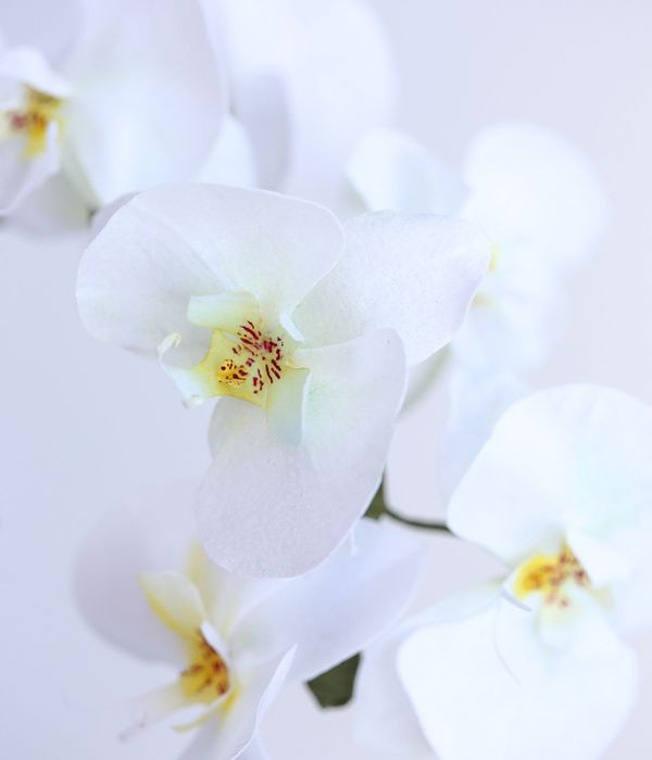 Wafer Paper Flower: Moth Orchid