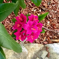 Rhododendron Free form gumpaste Rhododendron
